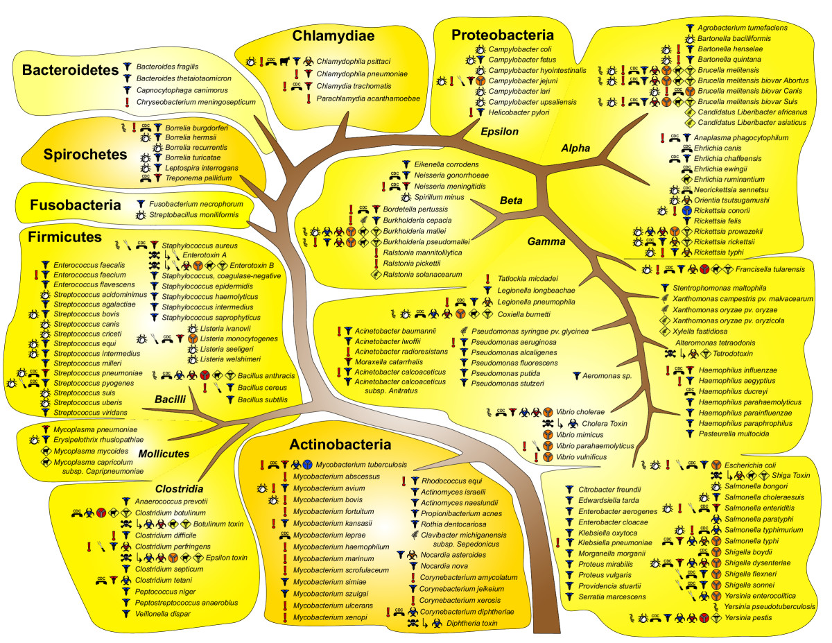 Bacterial Identification Diagram Images How To Guide And Refrence